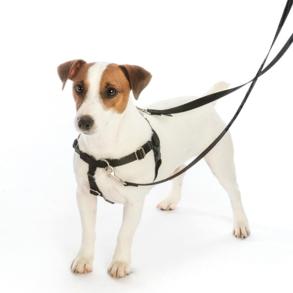 terrier dog in black no-pull harness