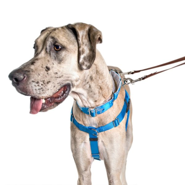 great dane in teal blue collar and harness