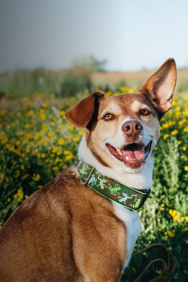 happy dog in field wearing a green pattern collar