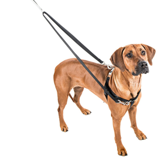 rhodesian ridgeback with no-pull harness for dogs