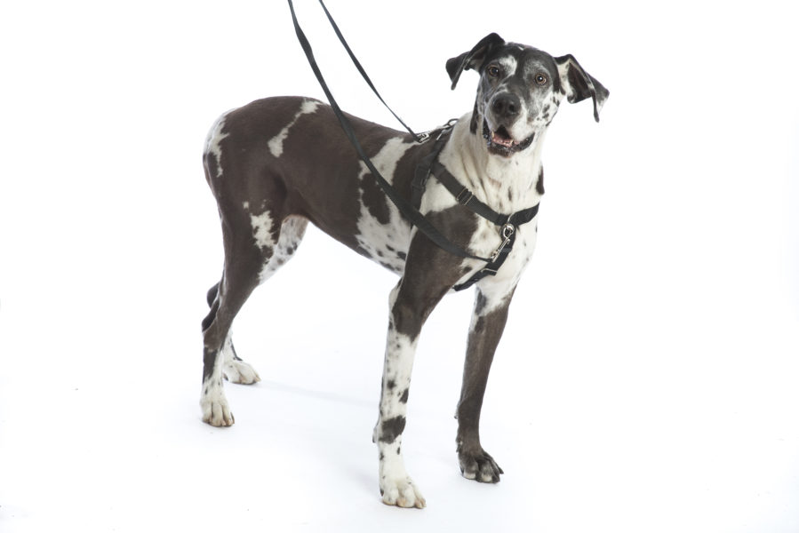 young great dane in harness