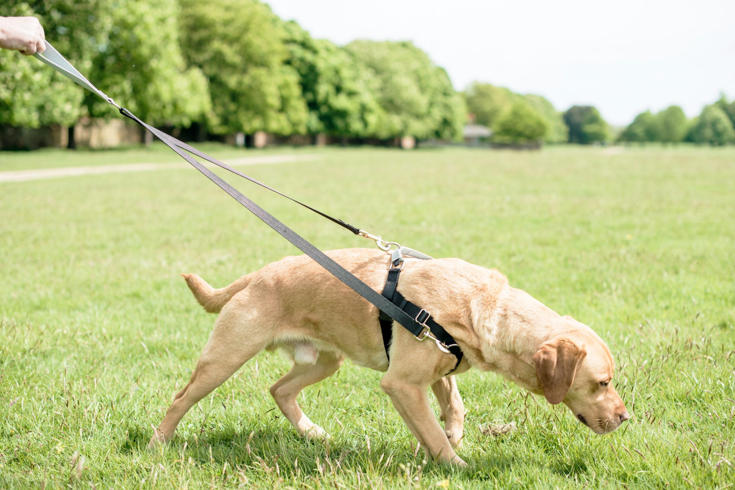 dog pulling on harness